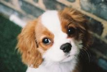 English Toy Spaniel - Cavalier King Charles - Puppy
