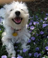 West Highland White Terrier - A Happy Westie