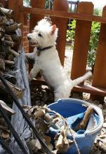 West Highland White Terrier - Yes, You Need a Secure Yard