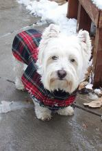 West Highland White Terrier - Looking Smart in Tartan