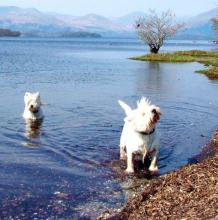 West Highland White Terrier - Playing in a Highland Loch