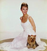 Yorkshire Terrier - Audrey Hepburn with Mr Famous