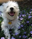 Best Pets - West Highland White Terrier