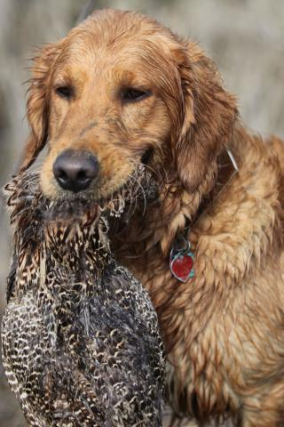 Golden Retriever - Retrieving Wildfowl at the Hunt Wallpaper #4 320 x 480 (iPhone/iTouch)